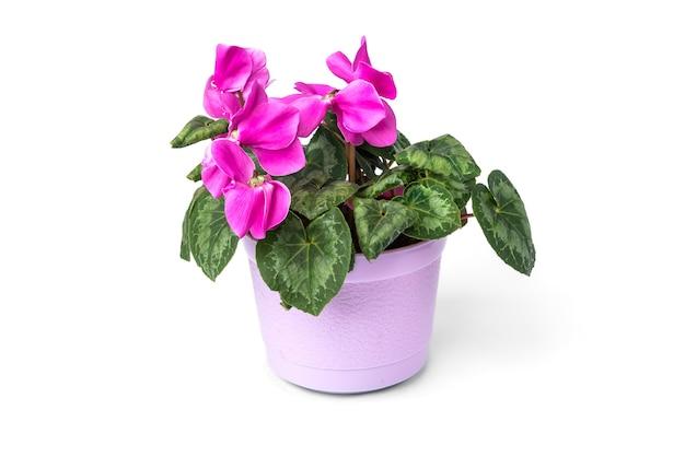 Fiore di ciclamino viola isolato su priorità bassa bianca.
