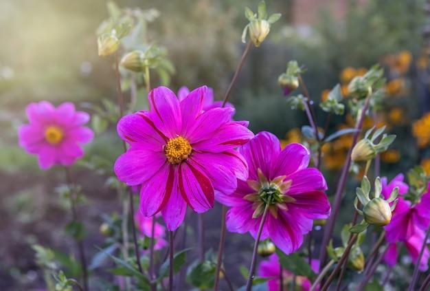 Le dalie viola fioriscono sulla strada vicino alla casa