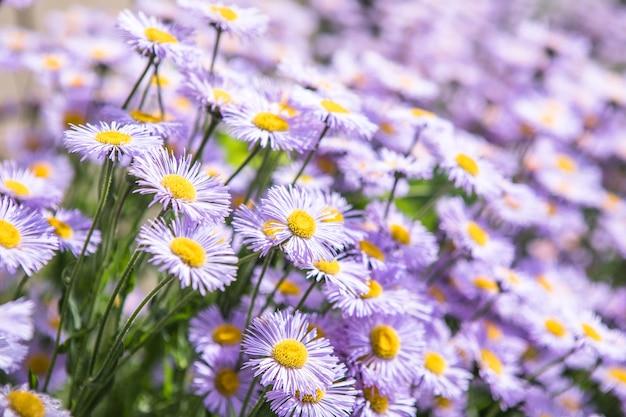 Priorità bassa della natura del fiore di alba viola daisy. camomilla prato primaverile