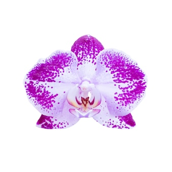 Orchidea viola del fiore isolata su fondo bianco. ripresa macro