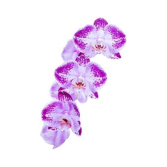 Orchidee fiori viola isolate su sfondo bianco white