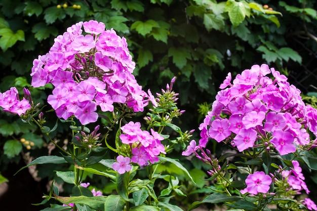Primo piano viola di phlox del giardino sul fondo verde del giardino.