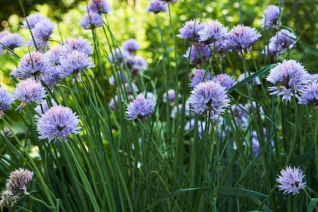 Fiori di aglio viola, primo piano. campo di fiori di aglio crescente.
