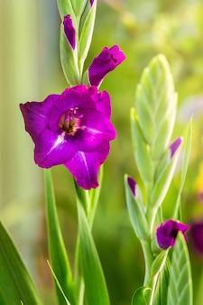 Gladiolo porpora nel giardino un giorno soleggiato luminoso