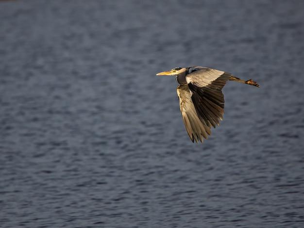 Airone viola ardea purpurea. uccello in volo.