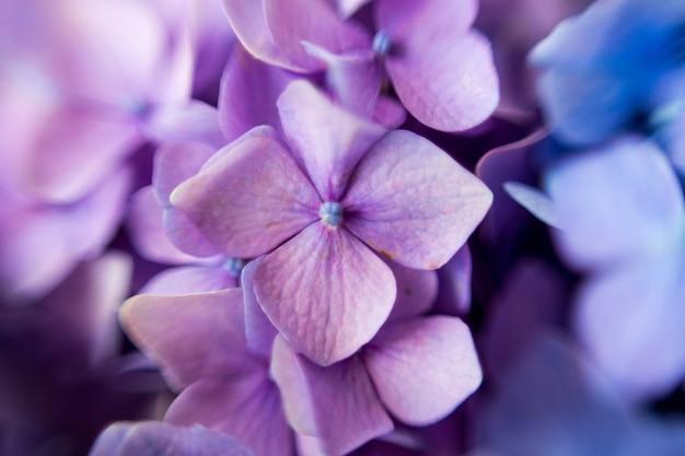 Fiore di ortensia viola con luce solforosa. banner web, sfondo della natura. pianta di ortensia fiorita.