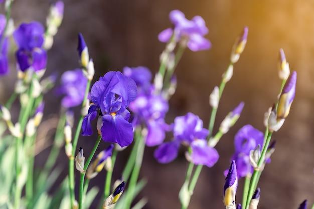 Bocciolo di iris viola in giardino sotto i raggi del sole primaverile