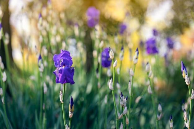 Iridi viola in un giardino primaverile (concentrarsi sul fiore,) foto in stile impressionista