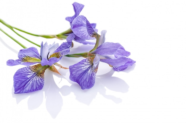Iris viola. colpo dello studio composizione isolata con ombra su bianco.