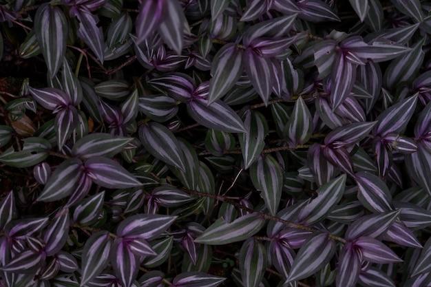 Sfondo foglia viola di silver inch plant in sfondo scuro