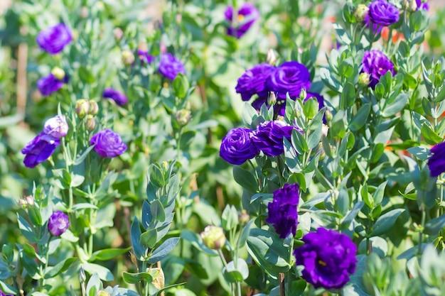 Il giardino di lisianthus viola con foglie verdi è un tema naturale di fiori che sbocciano.