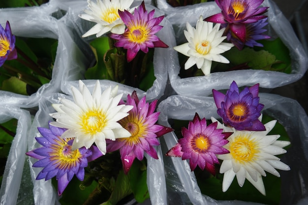 Fioritura di fiori di loto viola.