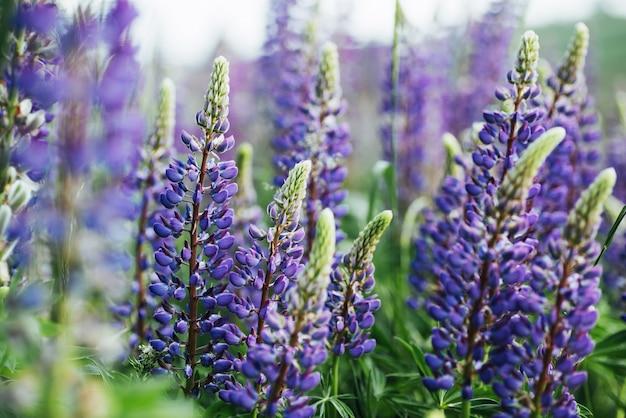 Fiori viola del lupino in erba verde