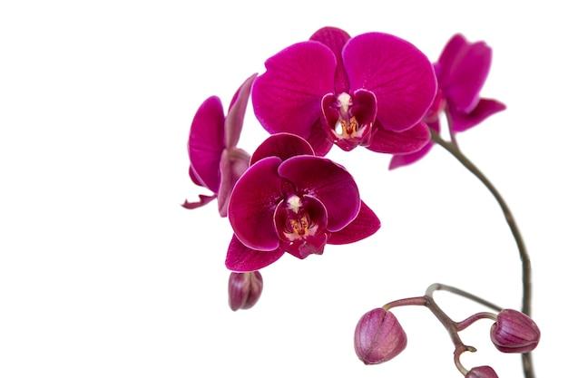 Orchidea viola, ramo fiorito con gemme, isolare su uno sfondo bianco