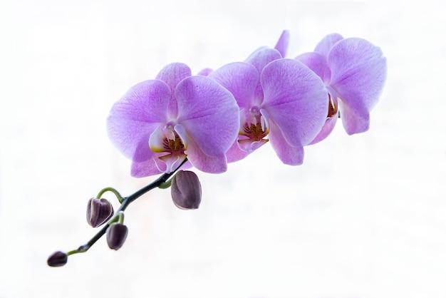 Orchidea viola isolata