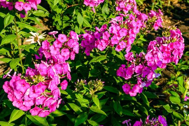 Fiori di phlox viola su un'aiuola in estate