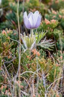 Croco viola della prateria fra le erbe selvatiche
