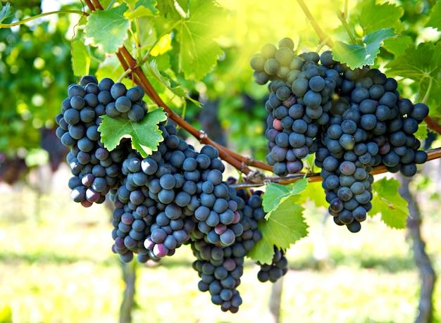 Uva rossa viola con raggi di sole