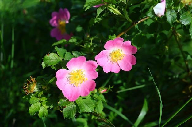 Primo piano viola del fiore di rosa canina