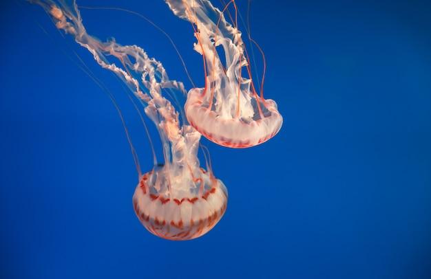 Meduse a strisce viola. medusa alla luce al neon in acquario