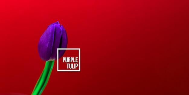 Concetto di tulipano viola, foto macro del fiore con iscrizione di testo, poster o biglietto di auguri, floristica e studio dei fiori, copia spazio foto banner