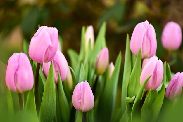 Tulipani viola in un primo piano di letto di fiori messa a fuoco selettiva
