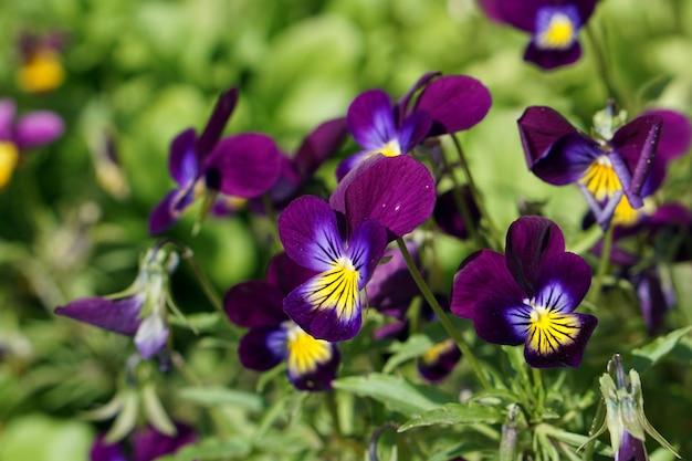 Brunch di fioritura dei fiori di vola porpora in giardino