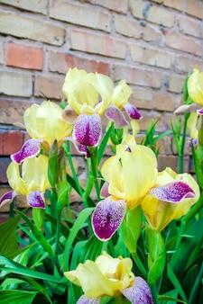 Fiori viola e gialli dell'iride della cultivar