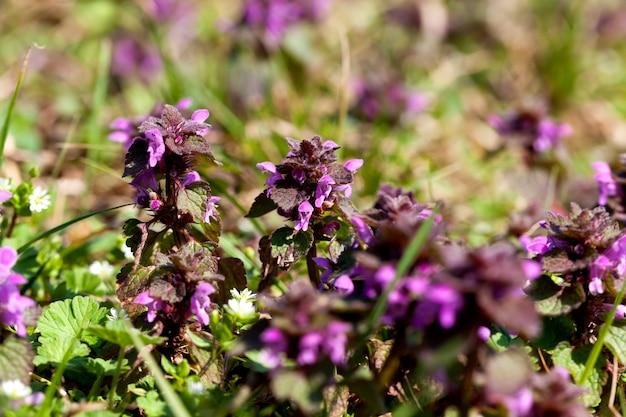 Ortica a fiori viola