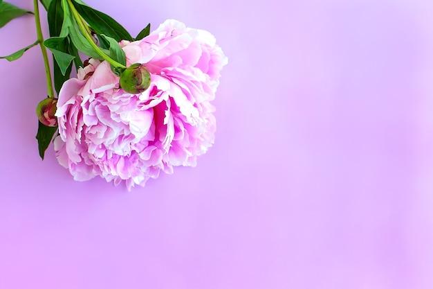 Fiori di peonia purpure sul rosa. lay piatto