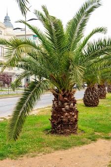 Dattero pigmeo palme (phoenix roebelenii) nel parco della città di batumi, georgia