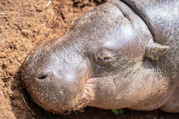 L'ippopotamo pigmeo, choeropsis liberiensis o hexaprotodon liberiensis è un piccolo ippopotamide originario delle foreste e delle paludi dell'africa occidentale, della liberia, della sierra leone, della guinea, della costa d'avorio