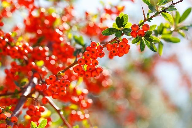 Pyracantha firethorn cespuglio sempreverde