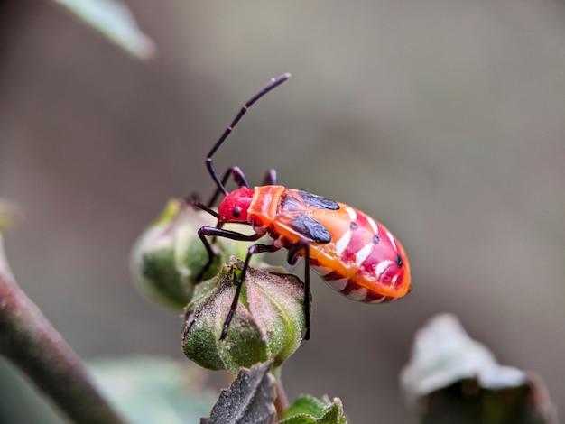 Pyrrhocoridae nella natura tropicale del borneo