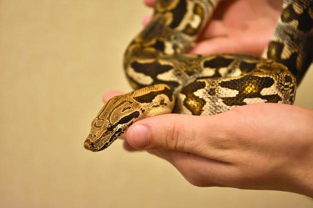 Python sul braccio, serpente sul braccio, l'uomo tiene il pitone, primo piano del pitone