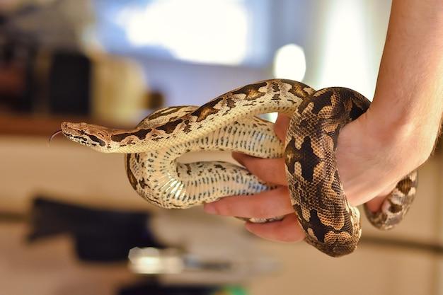 Python intorno al braccio da vicino