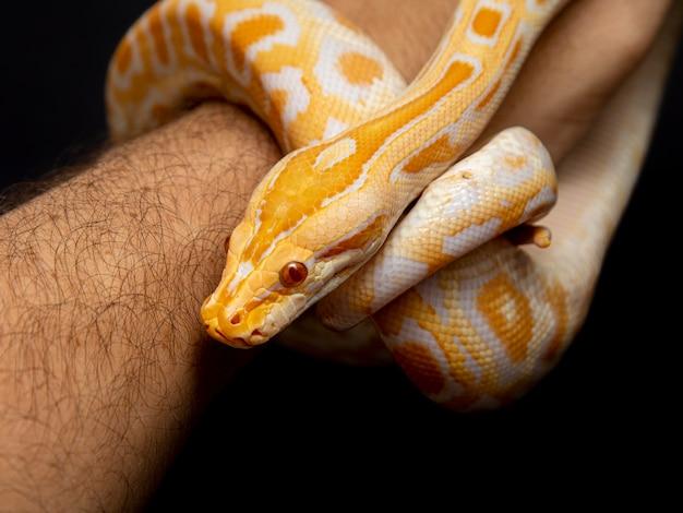 Python molurus bivitattus è una delle più grandi specie di serpenti.