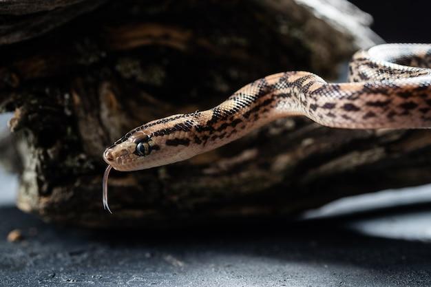 Serpente pitone con la lingua fuori in studio.