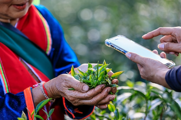 Foglie di tè di controllo di qualità. scattare una foto con uno smartphone