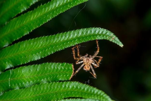 Quinault, washington. quinault rain forest. ragno che appende su una felce nella foresta.