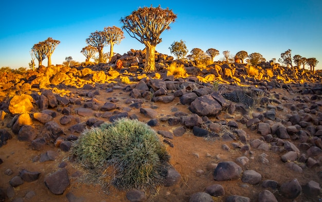 La foresta di quivertree all'alba vicino a keetmanshoop in namibia, africa.