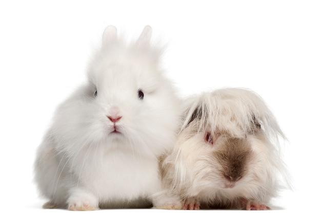 Ritratto di coniglio e cavia isolato