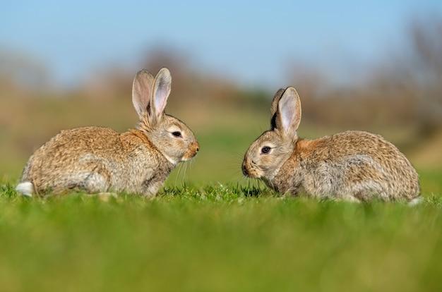 Coniglio lepre mentre in erba nel periodo estivo