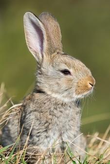 Lepre coniglio mentre ti guarda su sfondo di erba
