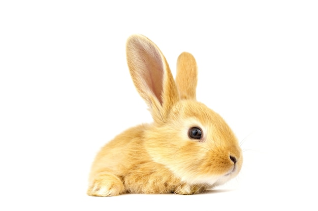 Testa di coniglio isolato su sfondo bianco.