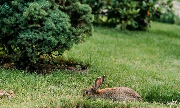 Coniglio nell'erba del pascolo del prato