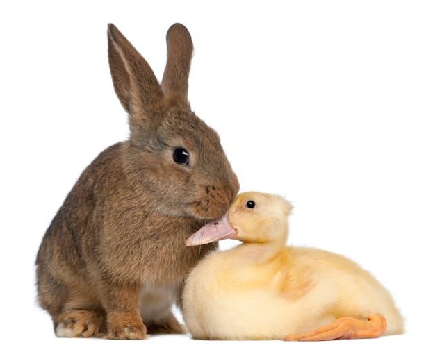 Coniglio che fiuta anatroccolo contro la superficie bianca