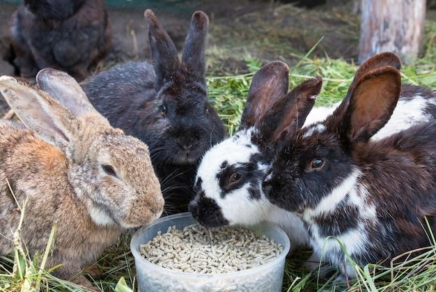 I conigli della fattoria mangiano cibo