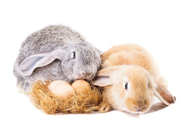 I conigli vicino si annidano con le uova isolate su bianco. tempo di pasqua.