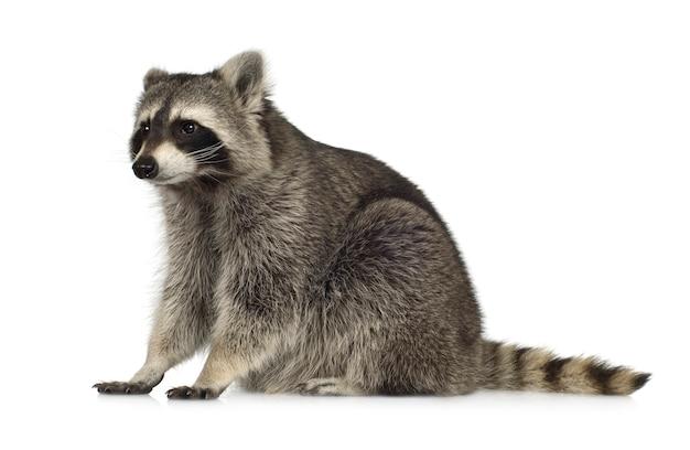 Raccoon (9 mesi) - procione lotor isolato